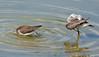 Lesser Yellowlegs at the pond (ctberney) Tags: lesseryellowlegs tringaflavipes shorebirds pond bathing water shy birds nature