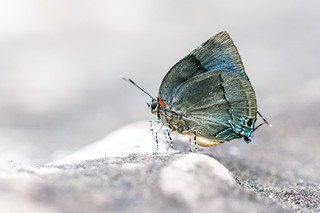 Panthiades bitias