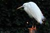 Little Egret (Boreal Impressions) Tags: littleegret egret pelecaniformes ardeidae egretta egrettagarzetta heron bird aquatic europe germany travel travelphotography nature wildlife