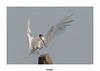 Sterne Caugek (gilbert.calatayud) Tags: charadriiformes laridés sandwichtern sternecaugek thalasseussandvicensis bird oiseau ile d oléron boyardville