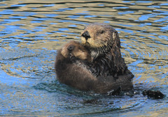 Sea Otter (Enhydra lutris) with Pup in Morro Bay, Ca 2017 (Atascaderocoachsam) Tags: enhydralutris seaotter droh dailyrayofhope