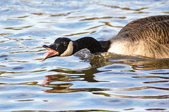 Honk honk (stellagrimsdale) Tags: goosehonk canadagoose lake water reflection beak tounge openmouth animal waterfowl feathers honking geese honkinggeese bird droplets waterdroplets fantasticnature