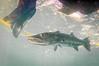 Toes Please! (RoamingTogether) Tags: barracuda diving florida floridakeys greatbarracuda johnpennekamp keylargo molassesreef pennekampstatepark scuba scubadiving sphyraenabarracuda watersports