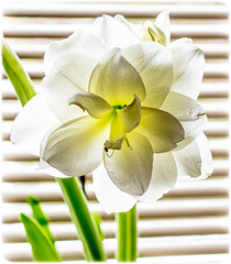 Amaryllis. . . illuminated. . . (CWhatPhotos) Tags: bloom flowering green plant bud light photographs photograph pics pictures pic picture image images foto fotos photography artistic cwhatphotos that have which with contain olympus digital camera lens em5 mkii samyang fisheye 75mm aspherical manual micro macro flowers flower nature color colour colors colours vibrant closeup close up amaryllis heads head shadowed shadow shadows wide fish eye view shot beauty beautiful illuminated from behind back lit