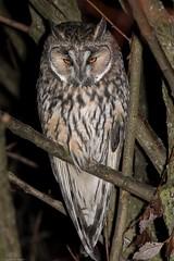 Hibou moyen-duc Raz le bol... (swisscore) Tags: longearedowl hibou hiboux hiboumoyenduc night nuit nocturne plume oiseau bird