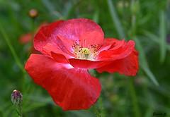 Thursday`s Flower (Eleanor (No multiple invites please)) Tags: poppy redflower bud grimsdyke harrowweald uk nikond7200 july2017