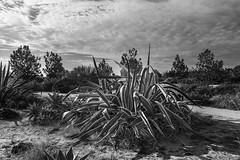 Giant Cactus (rjseg1) Tags: cactus cacti california sandiego flora