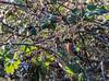 9Q6A6777 (2) (Alinbidford) Tags: alancurtis alinbidford brandonmarsh bullfinch wildbirds