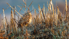 Burrowing Owl (Bob Gunderson) Tags: alamedacounty arrowheadmarsh athnecunicularia birds burrowingowl california eastbay northerncalifornia owls coth coth5