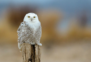 Snowy Owl takes up a comfortable pose as the snow flakes begin to fall.