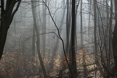 Licht im Wald (Susanne Limberger) Tags: wald licht dunst winter wienerwald