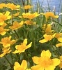 Rentukka/ kingcup pic of v_r1 (kaisamariave) Tags: riverbank spring sunny day marsh marigold kingcup