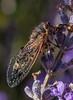 Cicada (Echidna Charlie) Tags: cicada yellowspotcicada diemenianaeuronotiana tasmania nature australia