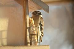 Downy Woodpecker (U.S. Fish and Wildlife Service - Midwest Region) Tags: mn winter 2018 nature seed suet female bird birding downywoodpecker feeding eating food minnesota wildlife woodpecker animal january