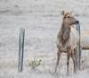 AA2I6608 (Ashala Tylor Images) Tags: elk tuleelk sanluisobispo sansimeon cambria highway1