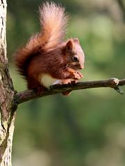 Red Squirrel, Yorkshire Dales (robin denton) Tags: redsquirrel squirrel yorkshiredales autumn forage foraging animal nature wildlife wensleydale yorkshire northyorkshire sciurusvulgaris moss uk britishcountryside countryside fauna canon yorkshiredalesnationalpark nationalpark