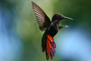 Black Throated Mango Hummingbird - Flight