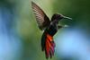 Black Throated Mango Hummingbird - Flight (BernieErnieJr) Tags: blackthroatedmangohummingbird bird wildlife sonya9 sonyfe100400mm bernie duhamel wild greatphotographers teamsony jamaica negril caribbean