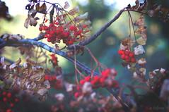 Rowan berries (*stellinna*) Tags: berries rowan mountainash witchbane witchwood sorbier treelore forest trees woods enchanted woodland forestspirit vintagelens minolta