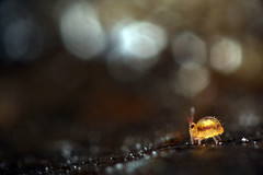 **In the Heart of the Diamond Mine II** (Jerome Picard) Tags: collembola collemboel hexapoda mesofauna mpe eos canon springtail fauna soil forest environnement sminthurides