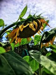Yamba Community Gardens. Sunflowered. (miaow) Tags: spring2017 northern nsw bellalunaboat abcmyphoto exploring australia yamba