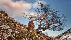 Survival... (Einir Wyn Leigh) Tags: landscape pony horse animal feral winter snowdonia snow mountains tree outside rural land sky clouds season wales cymru