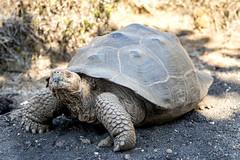 Galapagos Turtles (elparison) Tags: turtles tartarughe animal wildlife galapagos islaisabela