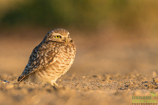 Burrowing Owl, Athene cunicularia, San Joaquin Valley, CA