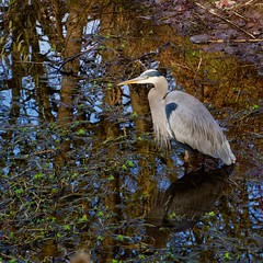 Herondipity (piranhabros) Tags: eugeneoregon winter december marsh pond reflection greatblueheron heron bird water animal