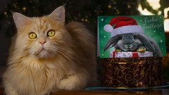 51/52 It's the little things .... (FocusPocus Photography) Tags: linus katze kater cat chat gato tier animal haustier pet weihnachten christmas weihnachtskarte card holidays lichter lights