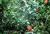 webs (parrot0901) Tags: webs camellia 茶花 spider vivitarseries12890mm