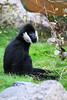 Northern White-cheeked Gibbon (mellting) Tags: djurparker eskilstuna nikond500 parkenzoo platser sigma1506005063sport flickr matsellting mellting nikon obloggad sverige sweden northernwhitecheekedgibbon vitkindadgibbon hylobatesleucogenys gibbon whitecheekedgibbon ape primate zoo animal mammal
