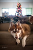 Big Island Christmas 2017 - Sitka Couch Princess 01 (JUNEAU BISCUITS) Tags: siberianhusky husky dog pet christmas christmastree nikond810 nikon