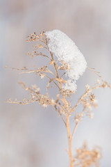 """Beauty is a fragile gift."" Ovid (hmthelords) Tags: strong winter dried beautiful airy flowers fragile light delicate snow"