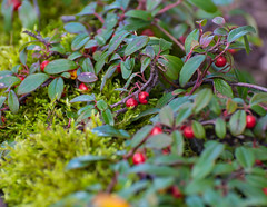 Nature Provides. (Omygodtom) Tags: senery setting scenic scene red green berry moss outside forest mountain nikkor natural nature nikon d7100 dof bokeh nikon70300mmvrlens