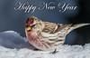 Common Redpoll (Acanthis flammea) (NigelJE) Tags: beaverdell britishcolumbia canada ca commonredpoll acanthisflammea acanthis fringillidae nigelje bigwhite redpoll finch truefinch