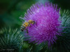 A wee dram of Scotch on New Years Day 2018 (Dave Whiteman - AU) Tags: nature scotchthistle bee leura