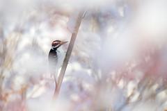 Chevelu mais pas décoiffé... (Nicole Barge) Tags: pic picchevelu mâle branches arbres sousbois underwood 2017 hairywoodpecker picoidesvillosus oiseau bird ornithologie ornithology bokeh pdc dof snow neige