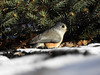 Shelter from the Storm (Alemap.1) Tags: snow tree fir pine titmouse macro
