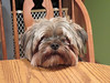 chewie (timp37) Tags: december dog pet table chair chewie 2017
