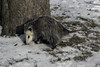 Opossum in Daylight (woodchuckiam) Tags: opossum possum marsupial animal omnivore madison wisconsin woodchuckiam