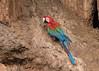 Red-and-Green Macaw (tickspics ) Tags: amazonbasin macaws tambopata birds heathriverclaylick redandgreenmacaw southamerica bahuajasonenenationalpark neotropicalparrots peru arachloropterus psittacidae tropicalrainforest