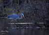 Great Blue Heron_ (dbking2162) Tags: birds bird nature nationalgeographic wildlife greatblueheron water wading dusk kayak animal summitlakestatepark indiana