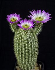Echinocereus websterianus Lau 98 (clement_peiffer) Tags: echinocereus websterianus lau 98 d7100 105mm cactaceae succulent peiffer clement nikon cactus fleurs flower spines epines kaktusi кактуси