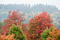 Fire and Fog (Michael Guttman) Tags: fallcolors fall autumn autumncolors trees springfield oregon pacificnorthwest forest