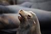 Sea Lion (ashockenberry) Tags: sea lion san francisco pier 39 teeth aquatic nature wildlife pacific california naturephotography
