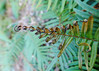 Fern, fried in the recent freeze (Monceau) Tags: tammanytrace fern curl curled frozen bokeh green