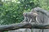 P1220689 (jinkemoole) Tags: japanesemacaque ニホンザル 台北動物園 taipeizoo zoo animal monkey