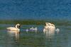 Trumpeter Swans (janelle.streed) Tags: trumpeterswan swan swans cygnusbuccinator waterfowl birds animals wildlife nature outdoors minnesota tamaracwildliferefuge rochert cygnets babies baby babyanimals babybirds