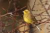 Yellowhammer, Shell Bay, Fife, Scotland (Terathopius) Tags: yellowhammer shellbay largobay emberizacitrinellacaliginosa emberizacitrinella fife scotland unitedkingdom uk greatbritain gb